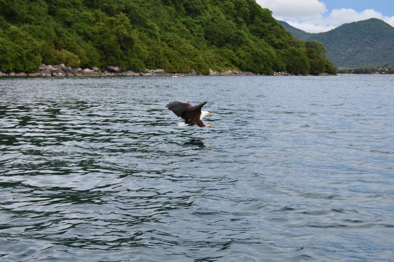 Fish eagle around Thumbi West Island