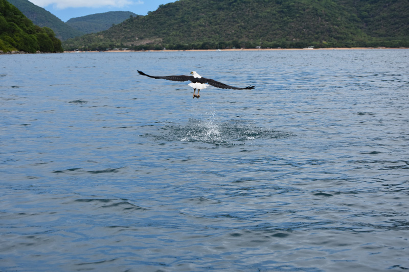 Fish eagle around Thumbi West Island